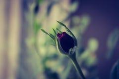 Rose macro Stock Image