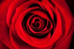 Rose In Macro vermelha bonita fotografia de stock