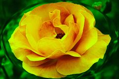 Rose magnifique de jaune dans l'ellipse sur le fond vert ! photo stock