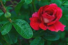 Rose magnifique de rouge dans les baisses de la rosée Images libres de droits