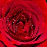 rose makro Zdjęcia Stock