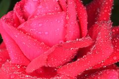rose makro Fotografia Stock