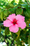 Rose Mallow Stockbild