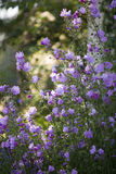 Rose Mallow-bloemen stock afbeelding