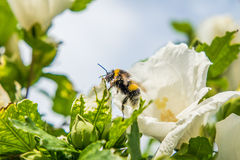 Rose mallow and bumble bee. With blurred background Stock Photography