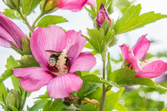 Rose mallow and bumble bee. With blurred background Royalty Free Stock Photo