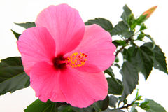 Rose mallow close-up Stock Photography