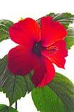 Rose mallow close-up Stock Photo