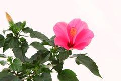 Rose mallow close-up Royalty Free Stock Photos