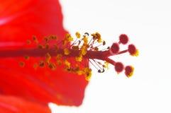 Rose mallow close-up. Rose mallow (hibiscus rosa-sinensis) close-up Stock Images