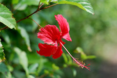 Rose mallow flower. On a natural background Stock Photos