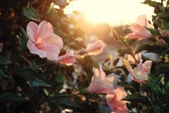Rose mallow from hibiscus blooming. Abstract wild flowers on roadside at sunset, rose mallow from hibiscus blooming in pink with backlight in evening, plant with Stock Photo