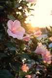 Rose mallow from hibiscus blooming. Abstract wild flowers on roadside at sunset, rose mallow from hibiscus blooming in pink with backlight in evening, plant with Royalty Free Stock Images