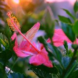 Rose mallow from hibiscus blooming. Abstract wild flowers on roadside at sunset, rose mallow from hibiscus blooming in pink with backlight in evening, plant with Royalty Free Stock Photos