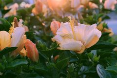 Rose mallow from hibiscus blooming. Abstract wild flowers on roadside at sunset, rose mallow from hibiscus blooming in yellow with backlight in evening, plant Stock Image