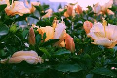 Rose mallow from hibiscus blooming. Abstract wild flowers on roadside at sunset, rose mallow from hibiscus blooming in yellow with backlight in evening, plant Royalty Free Stock Photo