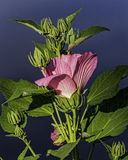 A rose mallow hibiscus starting bloom. At the waters edge a rose mallow hibiscus begins it`s blloming stock images
