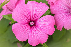 Rose Mallow. In the home garden Stock Image