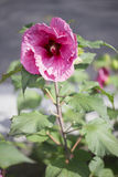 Rose Mallow - Plum Crazy Photo libre de droits