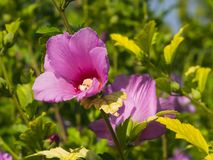 Rose Mallow or Syrian ketmia, Hibiscus syriacus, flower close-up with bokeh background, selective focus, shallow DOF.  Royalty Free Stock Photos