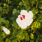 Rose Mallow or Syrian ketmia, Hibiscus syriacus, flower close-up in sunset light, selective focus, shallow DOF Stock Image