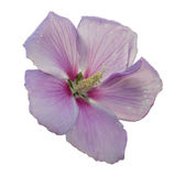 Rose Mallow with white background Stock Photos