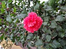 ROSE MALLOWS; HIBISCUS FLOWERING PLANTS. Mallow family; Malvaceae ,hibiscus flowers are one of the most spectacular blossoms ,The blooms are large ,colourful & Royalty Free Stock Images