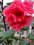 ROSE MALLOWS; HIBISCUS FLOWERING PLANTS. Mallow family; Malvaceae ,hibiscus flowers are one of the most spectacular blossoms ,The blooms are large ,colourful & Royalty Free Stock Photos