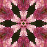 Rose Mandala Stock Photo
