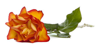 Rose Marie-Claire Stock Image
