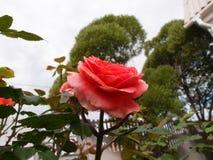 Rose Mary Ann stock fotografie