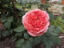 Rose Mary Ann royalty-vrije stock foto's