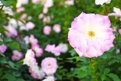 Rose Matilda Stockbilder