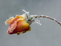rose matowe Obrazy Stock