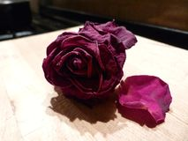 Rose memories. Individual rose kept for posterity and dried for pot pourrie Stock Photography