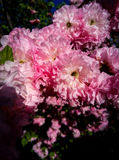 Rose meravigliose Fotografie Stock Libere da Diritti