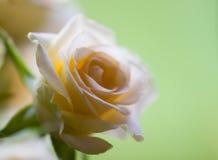 rose miękka przetargu Obraz Royalty Free