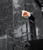 A rose in the middle of the gray. Beautiful image of a rose with splash of color stock photo