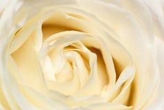 rose śmietany Obraz Stock