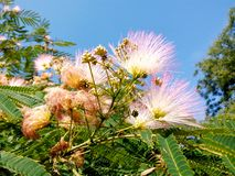 Rose mimosa under blue sky royalty free stock photos