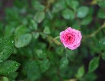 Rose miniatura Immagini Stock Libere da Diritti