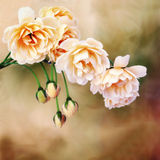 Rose miniatura gialle Fotografie Stock