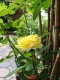 Rose miniature Photos stock