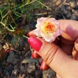 Rose miniature Image libre de droits