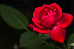 Rose miniature de rouge Images libres de droits