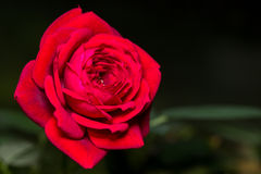 Rose miniature de rouge Photo libre de droits