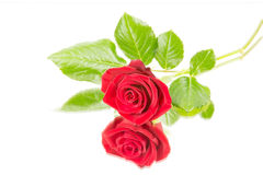 Rose mirror Royalty Free Stock Photos