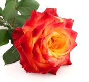 Rose mit Blättern lizenzfreies stockfoto