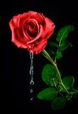 Rose mit Blättern Stockbild