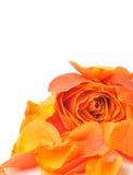 Rose mit den Blumenblättern Lizenzfreies Stockbild
